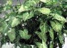 arrowhead plant
