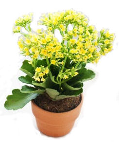 yellow-kalanchoe.jpg