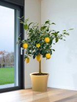 potted lemon tree near window