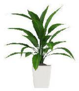 Aspidistra plant