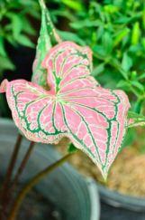 fancy leaf cladium