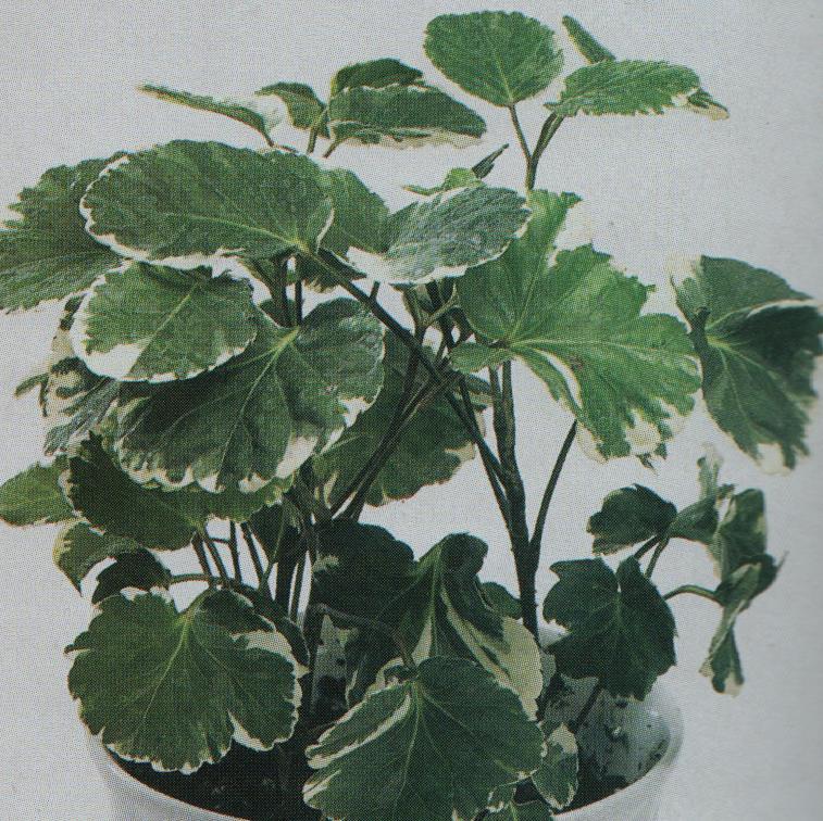variegated Balfour Aralia