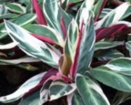 Colorful leaves of the Ti plant in mixtures of red, green and white