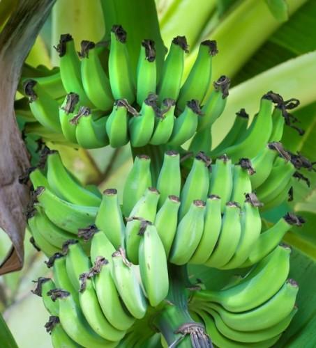 green bananas on tree