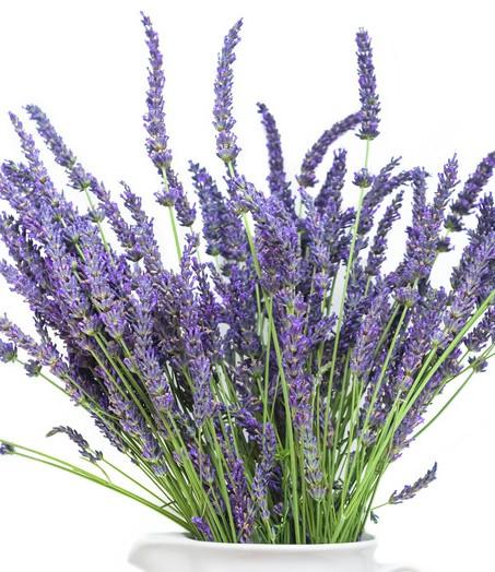 Lavender plant in white ceramic pot