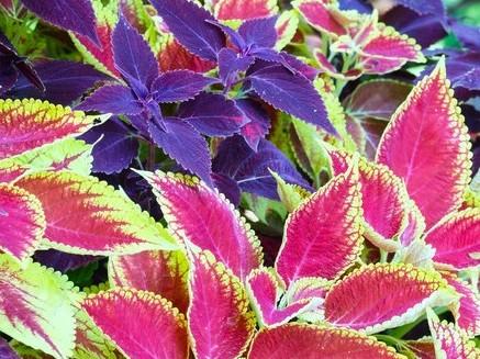 Colorful coleus plants