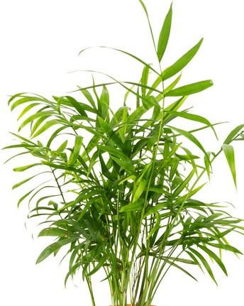 Dwarf elephant ear houseplant for Areca palm safe for cats