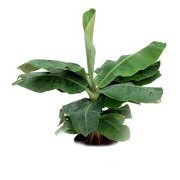 Dwarf banana tree leaves