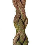 Braided Ficus Tree Trunk