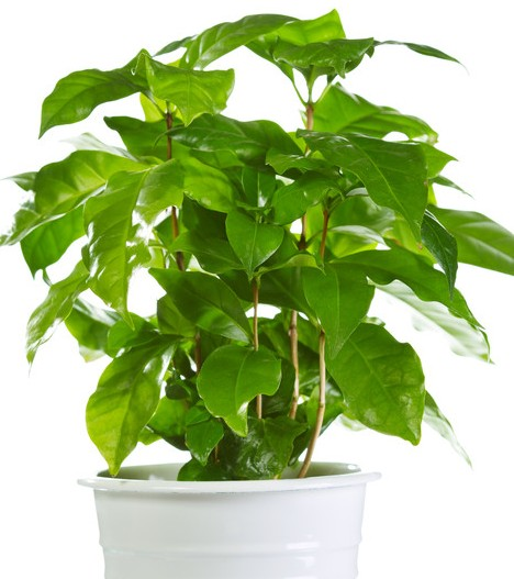 glossy green coffee plant in white container.