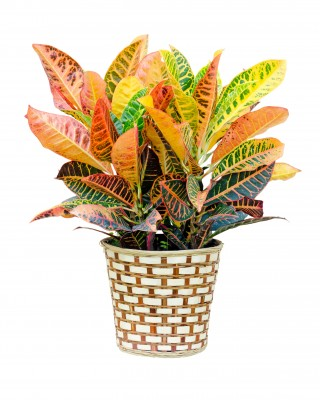 Croton Plants on red and green ornamental grass, red and green leaf plant, red and green ground cover,