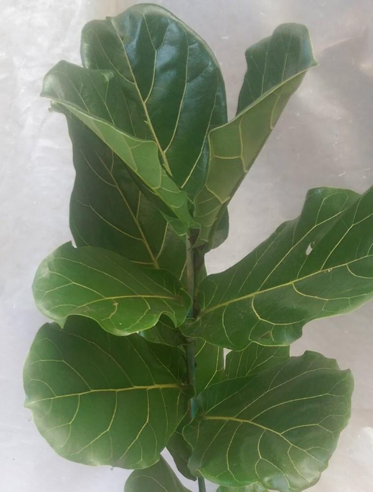fiddle leaf fig tree care tips - Fiddle Leaf Fig Tree Care