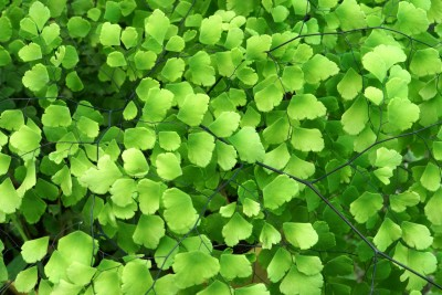 most common indoor houseplants html with Maidenhair Fern on Best Houseplants Destress n 2964013 likewise Bromeliad Plant also Most  mon Sorts Of Tall Indoor Plants That You Simply Will Use To Beautify Your Home likewise A Z List Of House Plants besides Pothos Cuttings.