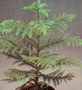Norfolk Island Pine houseplant