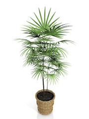 Bamboo Palm on