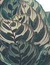 Peacock-Plant
