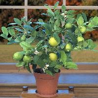 potted key lime tree near window