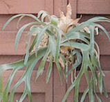 Staghorn Fern mounted on rustic brown wall