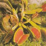 hungry venus flytrap