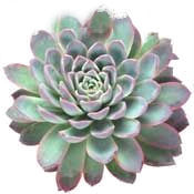 hen and chicks rosette isolated on white