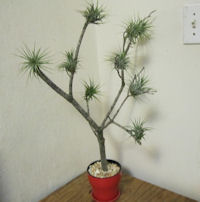 air-plant-tree in red ceramic pot