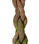 Braided Ficus Tree Trunk