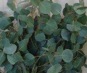 ecalyptus plant