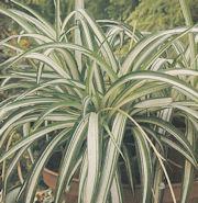 spider plant in pedestal