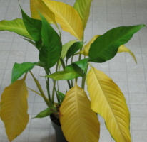 Repot Houseplant To Prevent Yellow Leaves